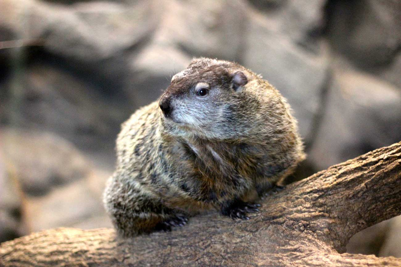 The story behind Charlotte's groundhog