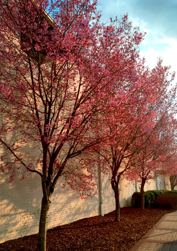 cherry-blossom-trees