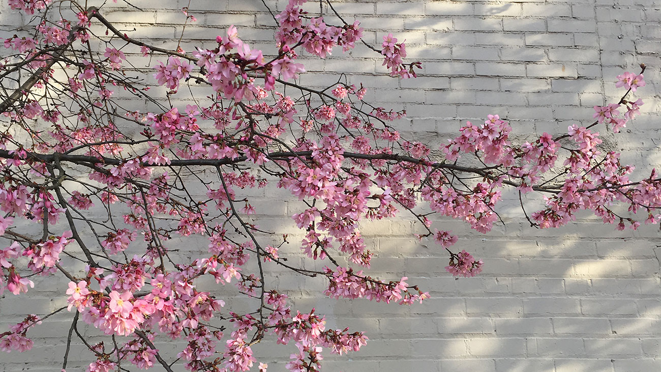 I left my heart in Tokyo, but found joy in the cherry blossoms of South End