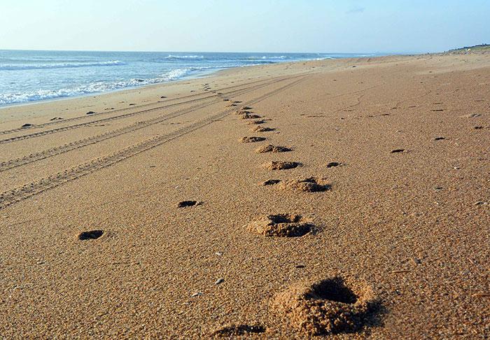 Sanderling-Beach