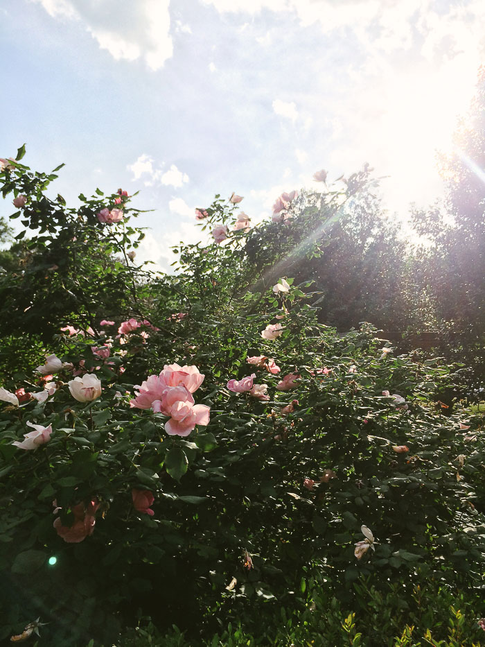 Independence Park roses