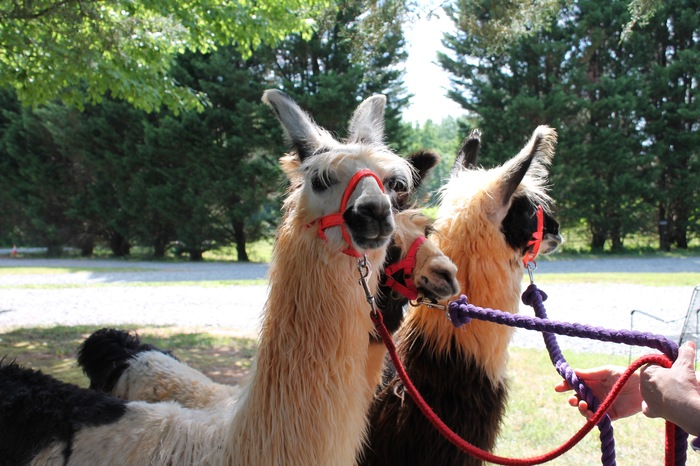 divine llama winery