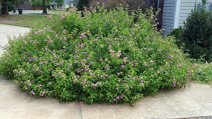 lantana bush