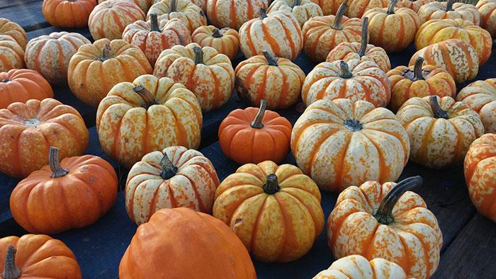 rural-hill-pumpkins