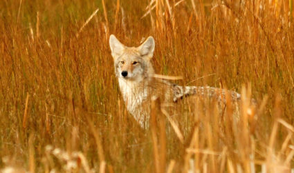 Charlotte isn't the place for coyote killing contests