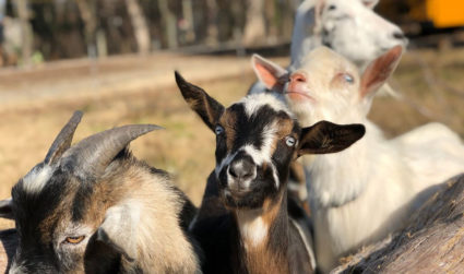 Tired of urban life and looking to raise goats or vegetables?...