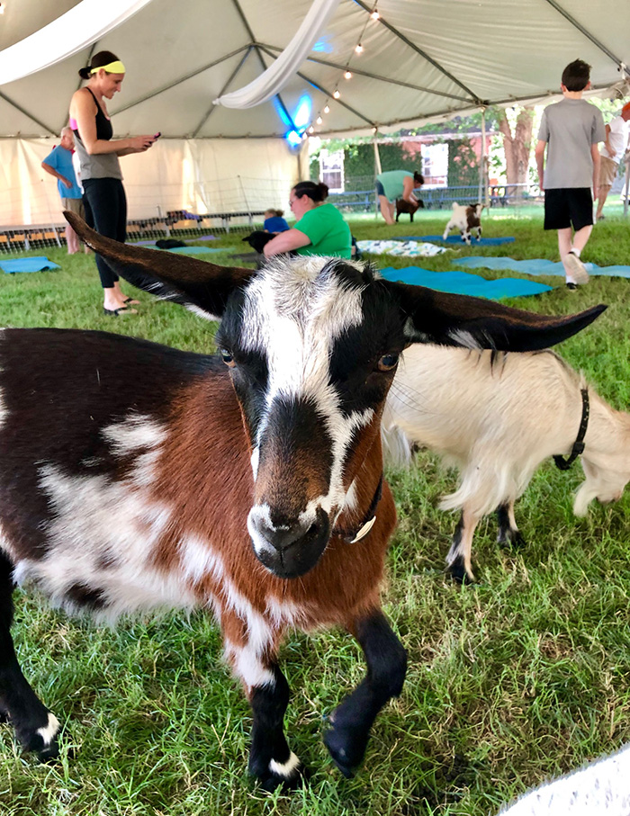 goat at goat yoga in charlotte