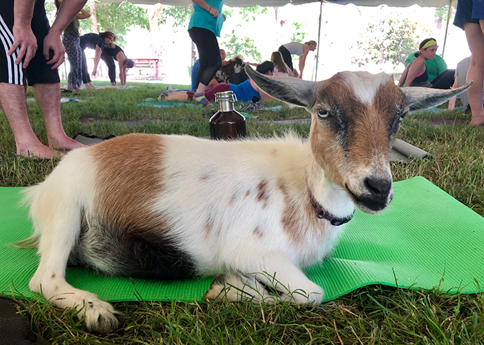 goat at yoga on mat