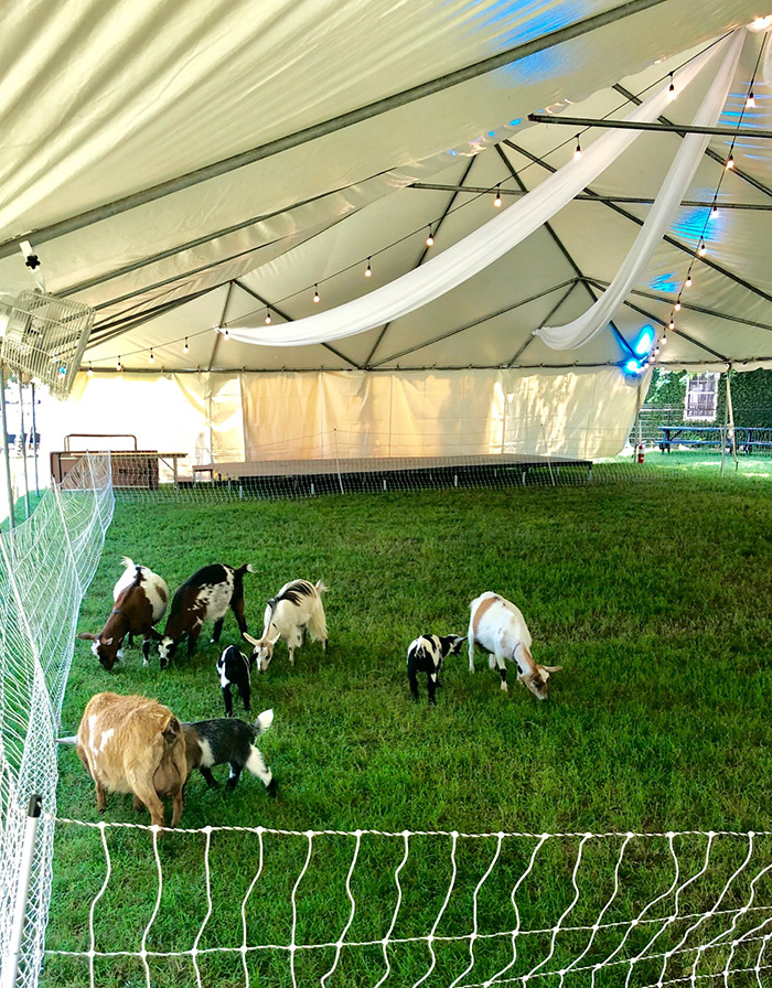 goats in tent at yoga