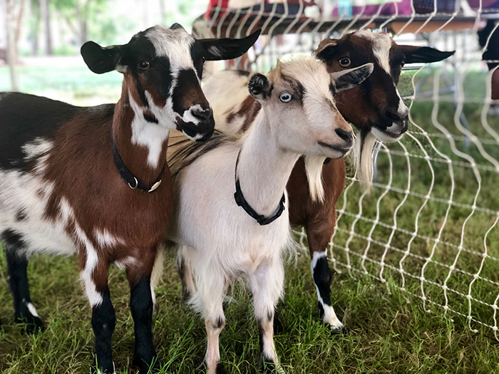 three goats at yoga rock hill